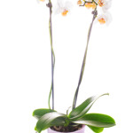 white orchid grows in pot