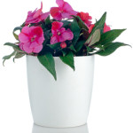 Beautiful pink impatiens flower in a white flowerpot on white background.