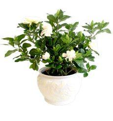 blooming gardenia...