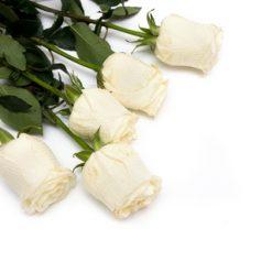 5 white roses