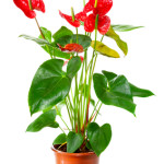 Blossoming plant of Anthurium/Flamingo flowers in flowerpot isol
