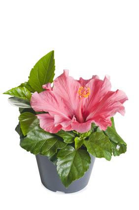 Hibiscus Plant Send Flowers To St Petersburg